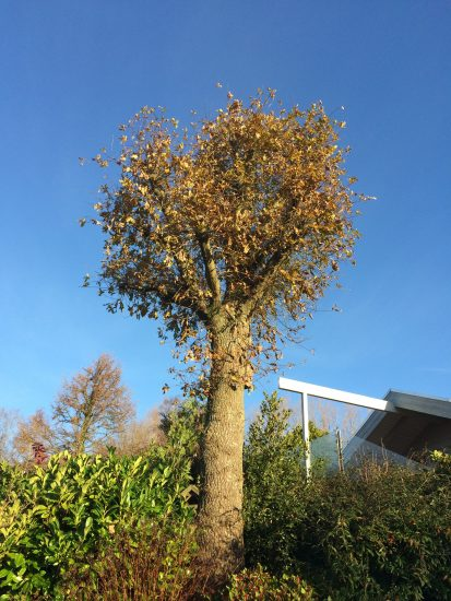 Styning af lindetræer