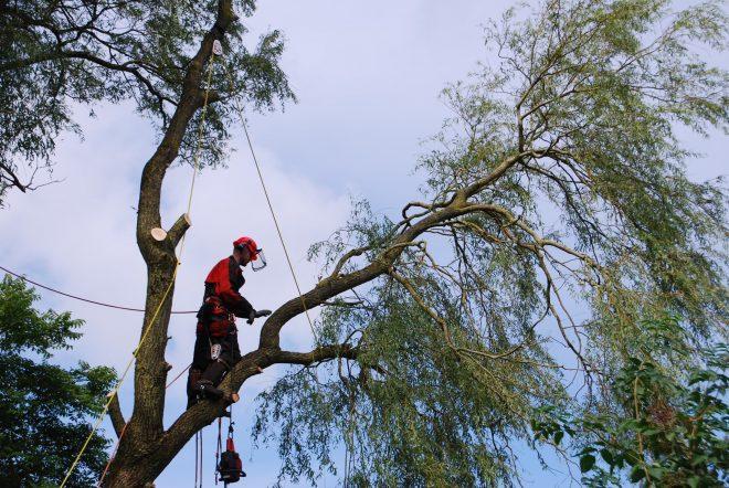 Topkapning af birketræer og andre store træer
